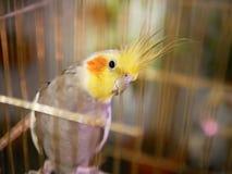 Cockatiel in einem goldenen Käfig stockfoto