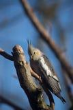 Cockatiel em um ramo Fotos de Stock