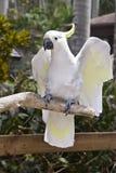 Cockatiel en el miembro Fotografía de archivo libre de regalías
