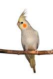 Cockatiel en una rama Imágenes de archivo libres de regalías