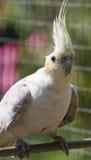 Cockatiel fêmea que aprecia o sol Imagens de Stock