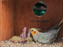 Cockatiel feeding its chicks inside a nest box Stock Images