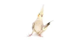 Cockatiel femminile fotografia stock