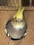 Cockatiel femminile di allevamento in sua scatola di allevamento Fotografia Stock Libera da Diritti