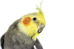 Cockatiel. Funny cockatiel on white background royalty free stock images