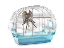 Cockatiel in gabbia Fotografia Stock Libera da Diritti