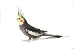 Cockatiel gris hermoso fotografía de archivo libre de regalías