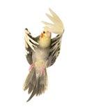 Cockatiel gris que vuela Imagen de archivo
