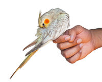 Cockatiel on a hand cleaning its feathers Stock Images