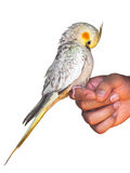 Cockatiel on a hand preening Stock Photo