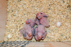 Cockatiel hatchlings Stock Photography