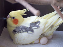 Cockatiel incubating eggs. A female cockatiel sitting on eggs Royalty Free Stock Photography