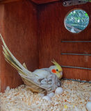 Cockatiel incubating eggs in a nest box vertical Royalty Free Stock Photography