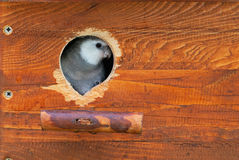 Cockatiel inside a nest box Royalty Free Stock Photos