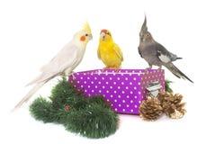Cockatiel and kakariki on box