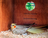 Cockatiel laying eggs in a nest box Stock Photo