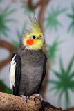 Cockatiel, maschio Fotografia Stock