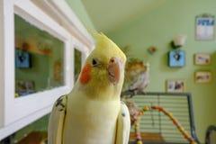Cockatiel masculino descanso considerado fora de sua gaiola, considerada em um conservatório, imagem de stock