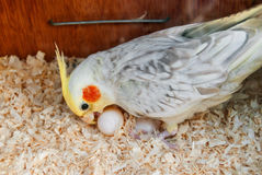 Cockatiel at nest with eggs Stock Image