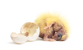 Cockatiel next to the egg from which he hatched out Royalty Free Stock Photo