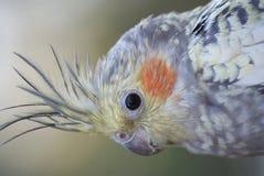 Cockatiel - Nymphicus-hollandicus Royalty-vrije Stock Foto's