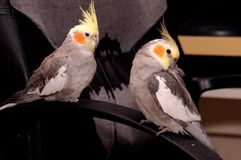 Cockatiel (Nymphicus hollandicus). Also known as the Quarrion and the Weiro, is a member of the cockatoo family endemic to Australia stock image