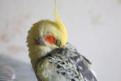 Cockatiel - Nymphicus hollandicus czyści piórka Fotografia Royalty Free