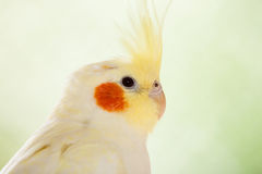 The cockatiel Nymphicus hollandicus Stock Image
