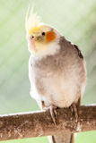 The cockatiel Nymphicus hollandicus Royalty Free Stock Image