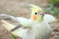 Cockatiel, Nymphicus hollandicus,standing Royalty Free Stock Photography
