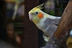 Free Cockatiel On Branch Royalty Free Stock Images - 40487249