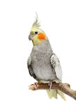 Cockatiel parakeet 4 years old (female) Stock Photos