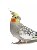 Cockatiel parakeet 4 years old (female) Royalty Free Stock Photography