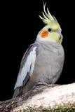 Cockatiel Parakeet Bird Stock Photo