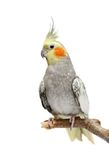 Cockatiel parakeet 4 years old Stock Image