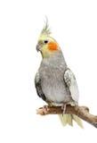 Cockatiel parakeet 4 years old Stock Image