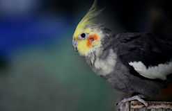Cockatiel Royalty Free Stock Photo