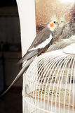 Cockatiel parrot Stock Images