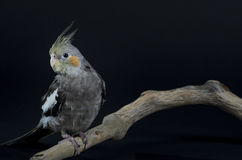 Cockatiel on Perch Stock Photo