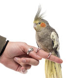 Cockatiel perched on a finger Royalty Free Stock Photos