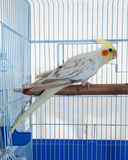 Cockatiel pet in a cage Royalty Free Stock Image