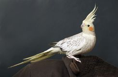 Cockatiel Portrait Royalty Free Stock Photos