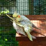 Cockatiel preening Stock Images