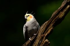 Cockatiel ptak Fotografia Stock