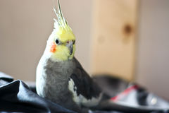 Cockatiel Stock Image