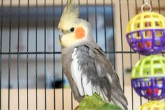 Cockatiel sitting in a wire cage. Male grey and white cockatiel sitting inside cage with colorful toys. Cockatiels are native to Australia Stock Photography