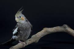 Cockatiel sulla pertica Fotografia Stock