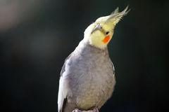 Cockatiel Tilting Head. Cockatiel tilting it's head looking into camera Stock Image