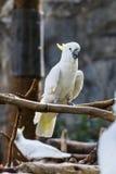 Cockatiel w Chiangmai zoo, Tajlandia Fotografia Royalty Free