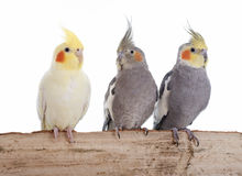 Cockatiel. Young Cockatiel in front of white background stock photography